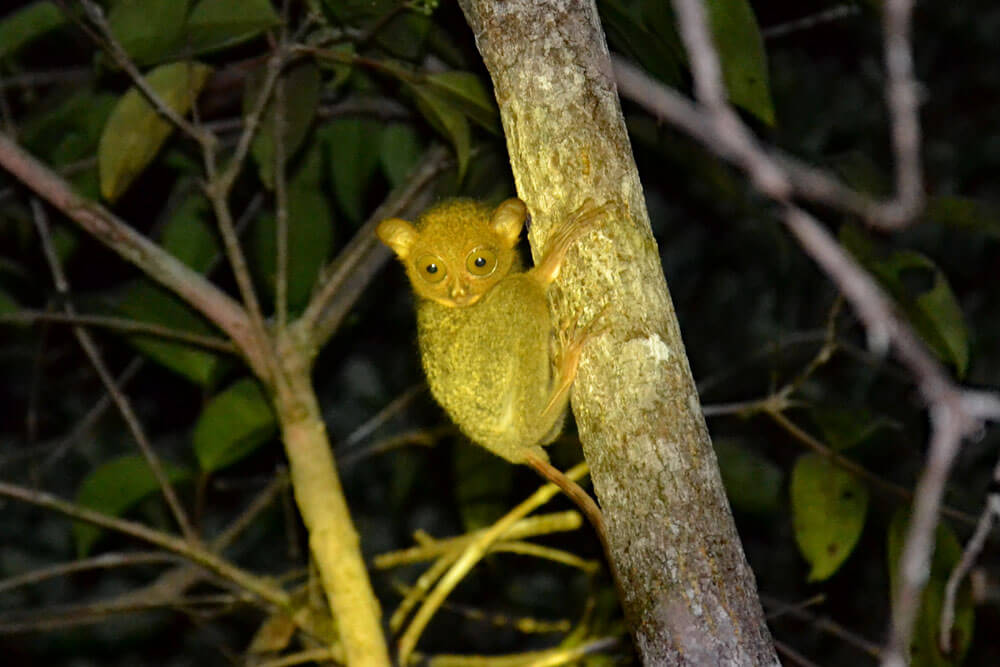 Tanjung Puting Nationalpark: Tarsier (Koboldmaki)
