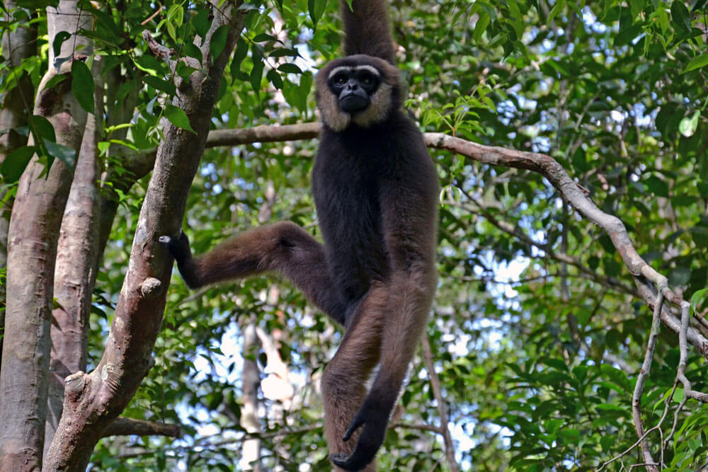 Tanjung Puting Nationalpark: Gibbon